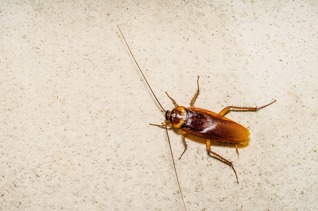 Cockroach Control, Pest Control in Cobham, Shorne, DA12. Call Now 020 8166 9746