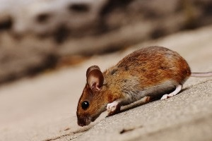 Mice Exterminator, Pest Control in Cobham, Shorne, DA12. Call Now 020 8166 9746