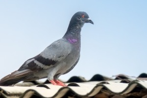 Pigeon Control, Pest Control in Cobham, Shorne, DA12. Call Now 020 8166 9746